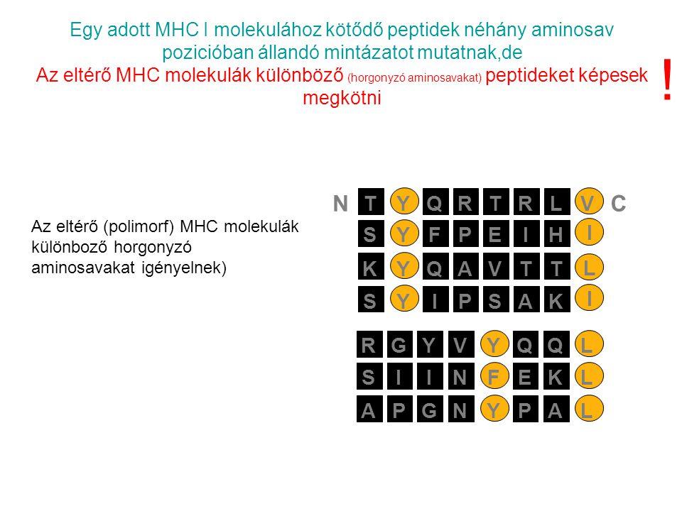 Egy adott MHC I molekulához kötődő peptidek néhány aminosav pozicióban állandó mintázatot mutatnak,de Az eltérő MHC molekulák különböző (horgonyzó aminosavakat) peptideket képesek megkötni PEIYSFH I AVTYKQT L PSAYSIK I RTRYTQLV NC SIIFNEKL APGYNPAL RGYYVQQL .