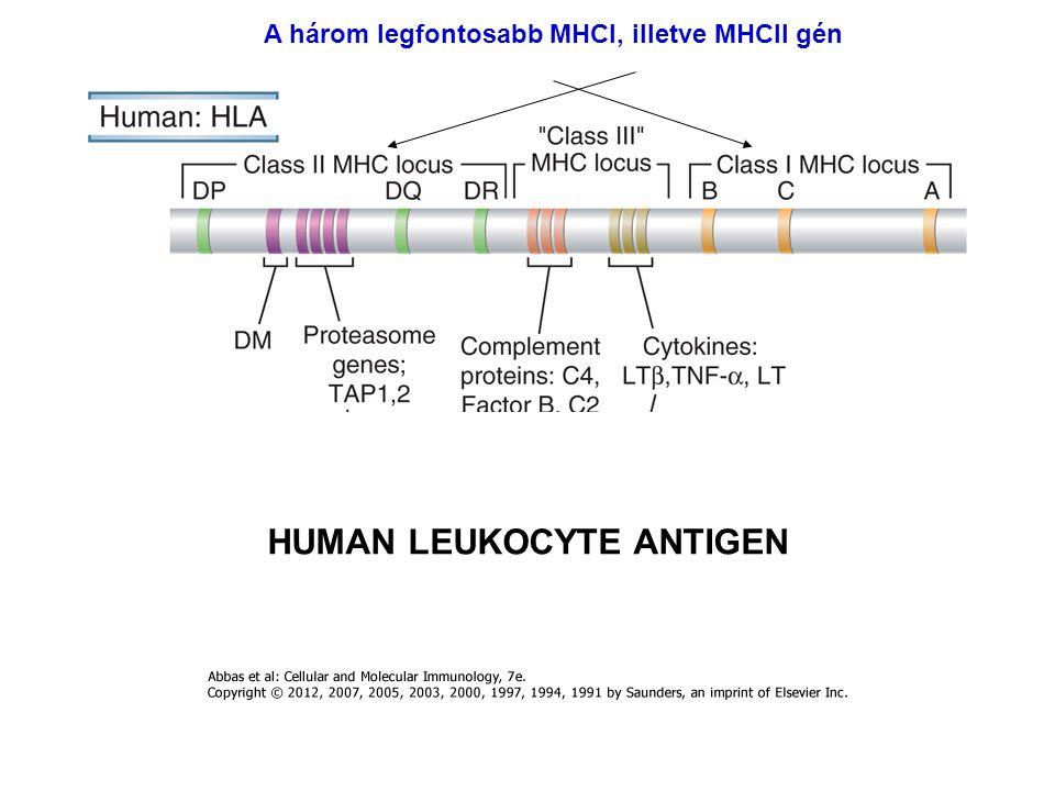 HUMAN LEUKOCYTE ANTIGEN A három legfontosabb MHCI, illetve MHCII gén