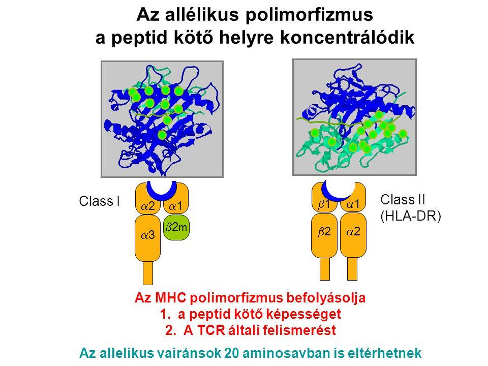 11 33 22 2m2m 22 11 22 11 Az allélikus polimorfizmus a peptid kötő helyre koncentrálódik Az MHC polimorfizmus befolyásolja 1.a peptid kötő képességet 2.A TCR általi felismerést Az allelikus vairánsok 20 aminosavban is eltérhetnek Class II (HLA-DR) Class I