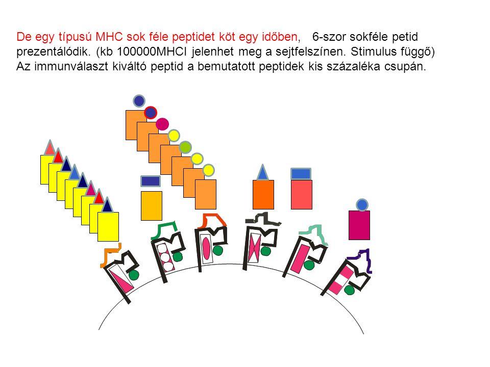De egy típusú MHC sok féle peptidet köt egy időben, 6-szor sokféle petid prezentálódik. (kb 100000MHCI jelenhet meg a sejtfelszínen. Stimulus függő) A