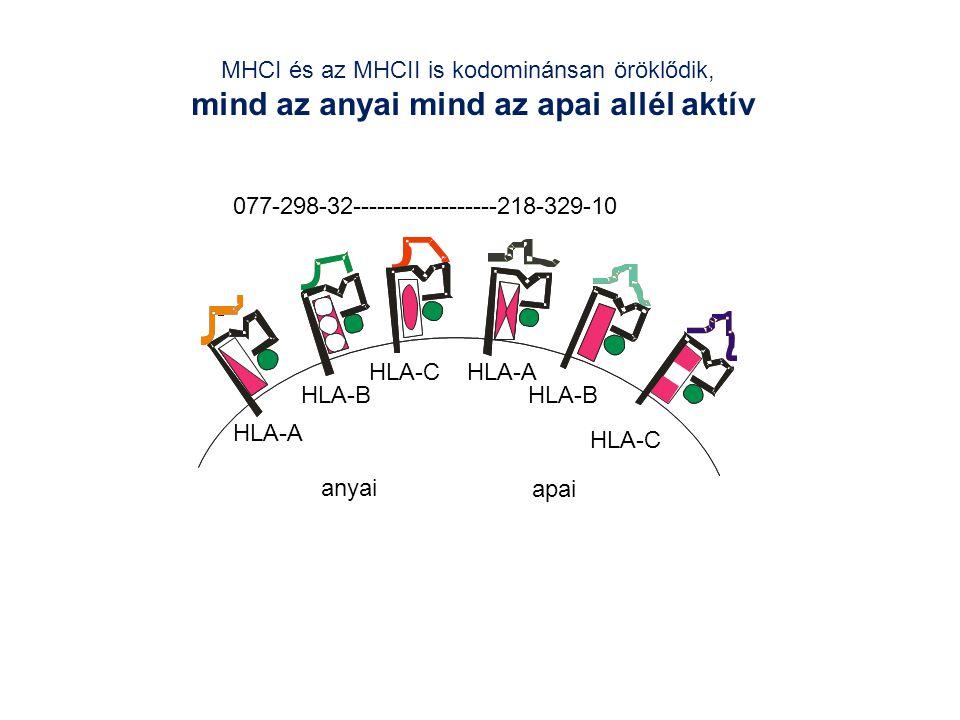 MHCI és az MHCII is kodominánsan öröklődik, mind az anyai mind az apai allél aktív HLA-A HLA-B HLA-C 077-298-32------------------218-329-10 anyai HLA-C HLA-B HLA-A apai