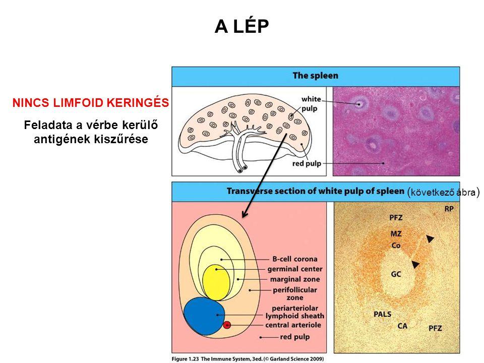 Vörös pulpa Marginális zóna Marginális sinus B sejt korona Csíraközpont- Periarterioláris limfocita lemezek (PALS) – T sejtes terület Központi arteriola A lép fehér pulpa Az immunválasz helyszíne Keresztmetszet