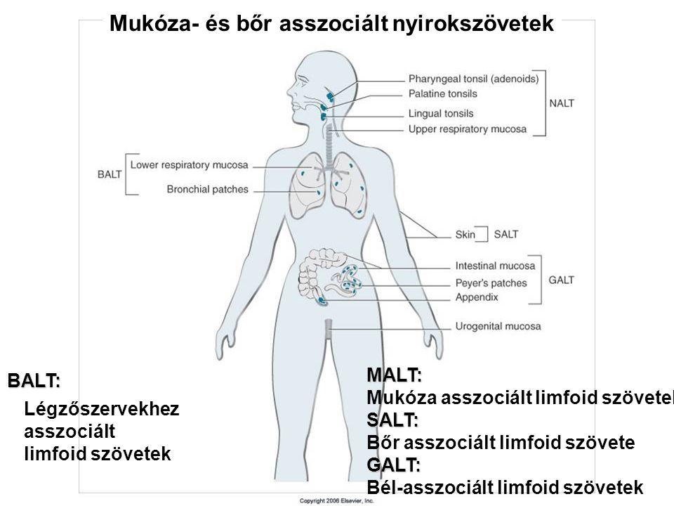 MALT  A legtöbb patogén a mukózális felszínen keresztül jut a szervezetbe  Nyálka védi, ami glikoproteineket, proteoglikánokat, enzimeket tartalmaz  Az anti-mikrobiális peptidek védenek a fizikai károsodások és fertőzések ellen  Vékony, nagy felületű, dinamikus réteget alkot  Erős immunológiai védelmi mechanizmusok támogatják  A mukózális felszín közelében található limfociták mennyisége lényegesen nagyobb, mint a test egyéb szöveteiben !