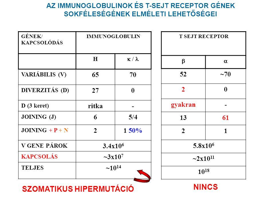GÉNEK/ KAPCSOLÓDÁS IMMUNOGLOBULIN H  / VARIÁBILIS (V) 6570 DIVERZITÁS (D) 270 D (3 keret) ritka- JOINING (J) 65/4 JOINING + P + N 21 50% V GENE PÁROK 3.4x10 6 KAPCSOLÁS ~3x10 7 TELJES ~10 14 SZOMATIKUS HIPERMUTÁCIÓ AZ IMMUNOGLOBULINOK ÉS T-SEJT RECEPTOR GÉNEK SOKFÉLESÉGÉNEK ELMÉLETI LEHETŐSÉGEI T SEJT RECEPTOR  52~70 20 gyakran- 1361 21 5.8x10 6 ~2x10 11 10 18 NINCS