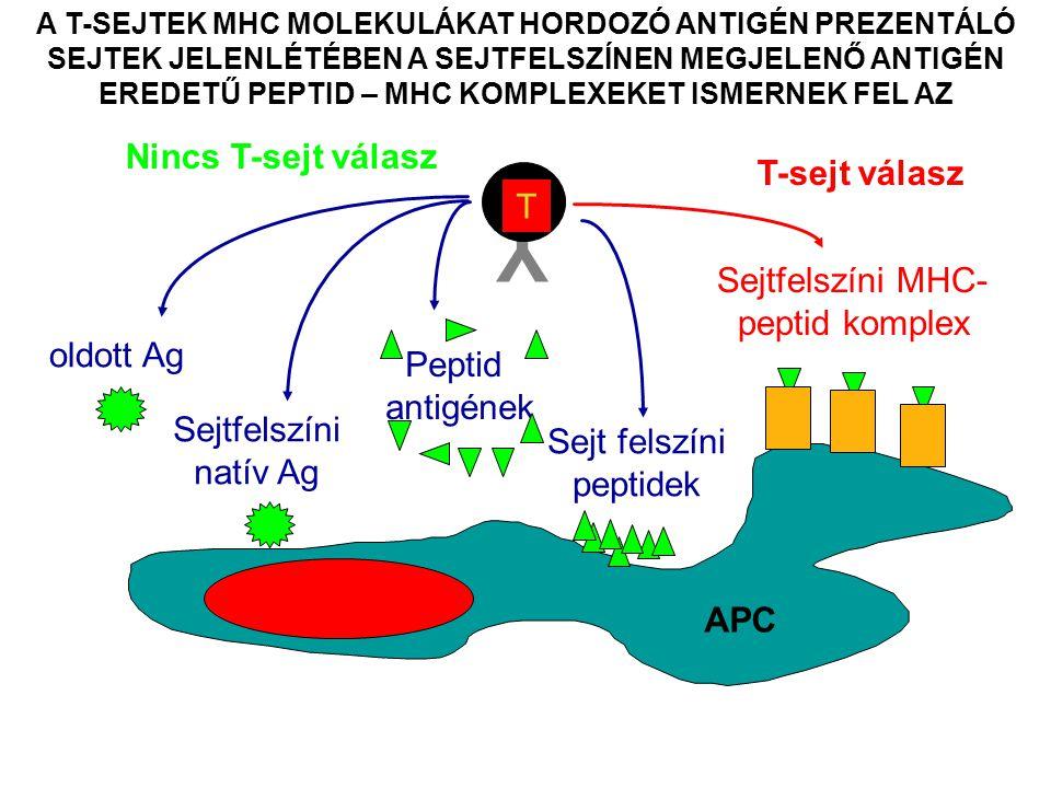 A T-SEJTEK MHC MOLEKULÁKAT HORDOZÓ ANTIGÉN PREZENTÁLÓ SEJTEK JELENLÉTÉBEN A SEJTFELSZÍNEN MEGJELENŐ ANTIGÉN EREDETŰ PEPTID – MHC KOMPLEXEKET ISMERNEK FEL AZ Y T Nincs T-sejt válasz oldott Ag Sejtfelszíni natív Ag Peptid antigének Sejtfelszíni MHC- peptid komplex T-sejt válasz Sejt felszíni peptidek APC