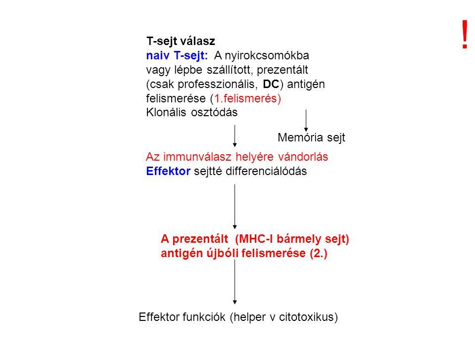 T-sejt válasz naiv T-sejt: A nyirokcsomókba vagy lépbe szállított, prezentált (csak professzionális, DC) antigén felismerése (1.felismerés) Klonális osztódás Az immunválasz helyére vándorlás Effektor sejtté differenciálódás A prezentált (MHC-I bármely sejt) antigén újbóli felismerése (2.) Effektor funkciók (helper v citotoxikus) Memória sejt !