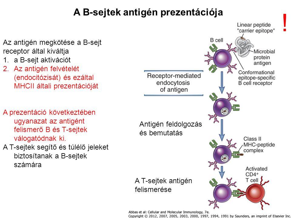 Az antigén megkötése a B-sejt receptor által kiváltja 1.a B-sejt aktivációt 2.Az antigén felvételét (endocitózisát) és ezáltal MHCII általi prezentációját A prezentáció következtében ugyanazat az antigént felismerő B és T-sejtek válogatódnak ki.