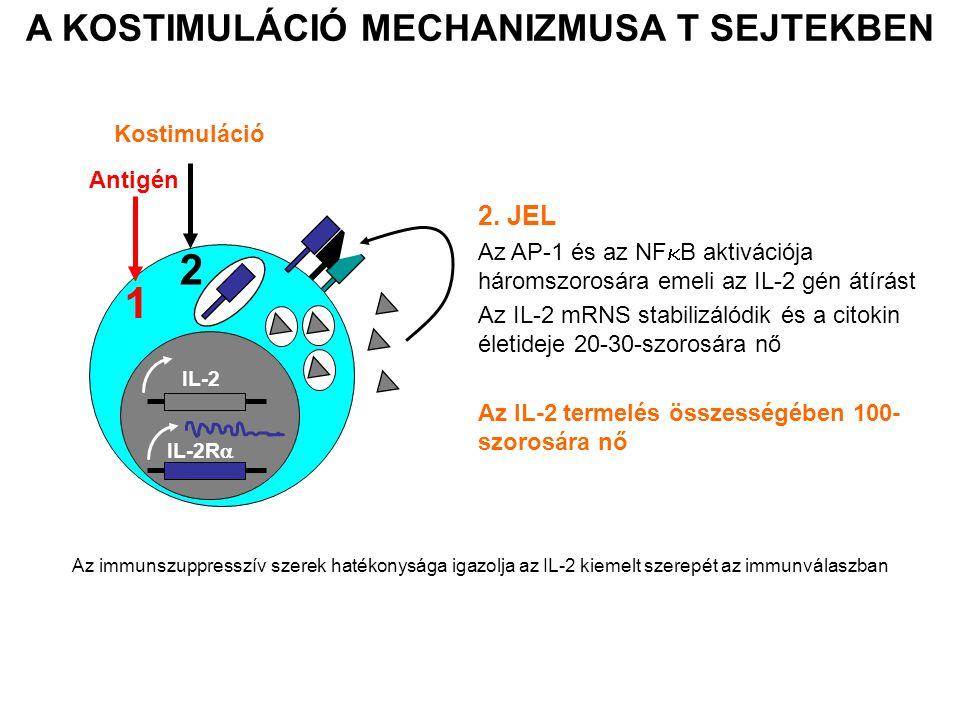 IL-2 IL-2R  1 Antigén 2 Kostimuláció 2. JEL Az AP-1 és az NF  B aktivációja háromszorosára emeli az IL-2 gén átírást Az IL-2 mRNS stabilizálódik és