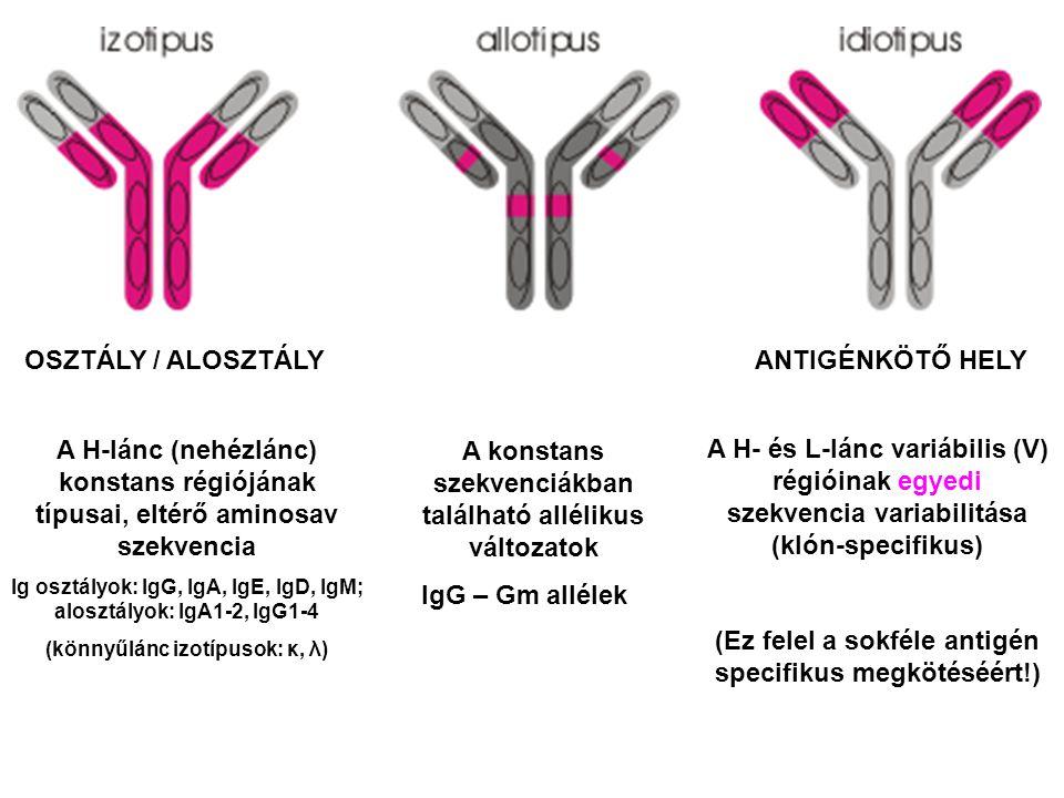 OSZTÁLY / ALOSZTÁLY ANTIGÉNKÖTŐ HELY A H-lánc (nehézlánc) konstans régiójának típusai, eltérő aminosav szekvencia Ig osztályok: IgG, IgA, IgE, IgD, Ig