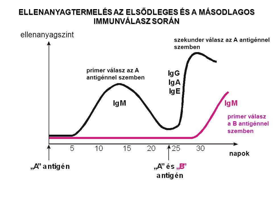 szekunder válasz az A antigénnel szemben primer válasz az A antigénnel szemben ellenanyagszint napok primer válasz a B antigénnel szemben ELLENANYAGTE