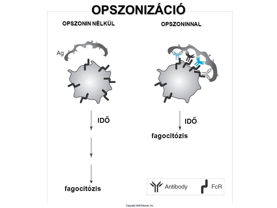 OPSZONIZÁCIÓ OPSZONIN NÉLKÜL OPSZONIN NÉLKÜL OPSZONINNAL OPSZONINNAL IDŐ fagocitózis