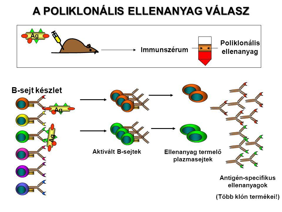 A POLIKLONÁLIS ELLENANYAG VÁLASZ Ag Immunszérum Poliklonális ellenanyag Ag B-sejt készlet Aktivált B-sejtek Ellenanyag termelő plazmasejtek Antigén-sp