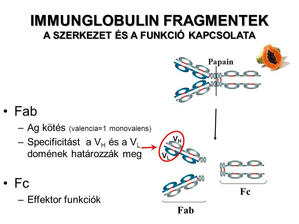Fab –Ag kötés (valencia=1 monovalens) –Specificitást a V H és a V L domének határozzák meg Papain Fc Fab Fc –Effektor funkciók VHVH VLVL IMMUNGLOBULIN