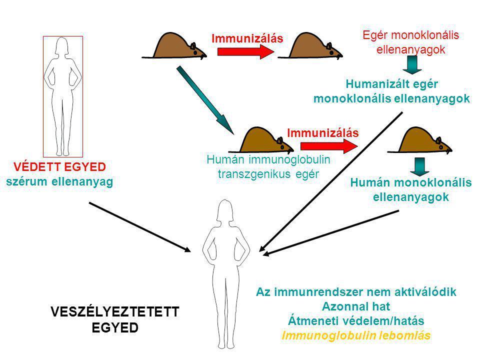 VÉDETT EGYED szérum ellenanyag PASSZÍV IMMUNIZÁLÁS Az immunrendszer nem aktiválódik Azonnal hat Átmeneti védelem/hatás Immunoglobulin lebomlás Humán i
