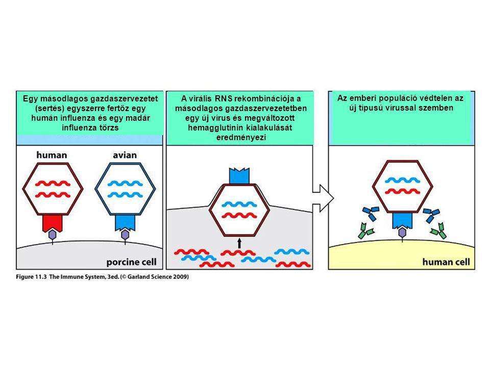 Egy másodlagos gazdaszervezetet (sertés) egyszerre fertőz egy humán influenza és egy madár influenza törzs A virális RNS rekombinációja a másodlagos g