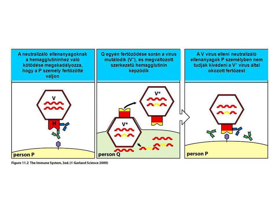 A neutralizáló ellenanyagoknak a hemagglutininhez való kötődése megakadályozza, hogy a P személy fertőzötté váljon Q egyén fertőződése során a vírus m
