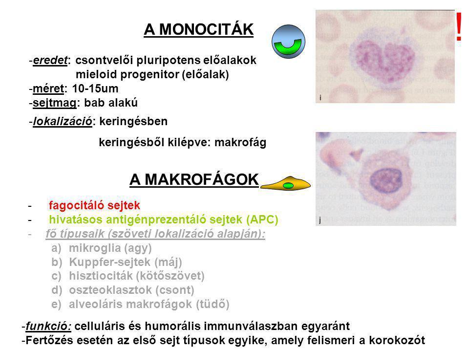 A MONOCITÁK -eredet: csontvelői pluripotens előalakok mieloid progenitor (előalak) -méret: 10-15um -sejtmag: bab alakú -lokalizáció: keringésben keringésből kilépve: makrofág A MAKROFÁGOK - fagocitáló sejtek - hivatásos antigénprezentáló sejtek (APC) -fő típusaik (szöveti lokalizáció alapján): a)mikroglia (agy) b)Kuppfer-sejtek (máj) c)hisztiociták (kötőszövet) d)oszteoklasztok (csont) e)alveoláris makrofágok (tüdő) -funkció: celluláris és humorális immunválaszban egyaránt -Fertőzés esetén az első sejt típusok egyike, amely felismeri a korokozót !
