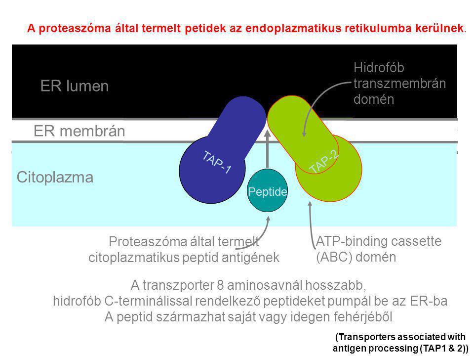 ER membrane Lumen of ER Cytosol (Transporters associated with antigen processing (TAP1 & 2)) A transzporter 8 aminosavnál hosszabb, hidrofób C-terminálissal rendelkező peptideket pumpál be az ER-ba A peptid származhat saját vagy idegen fehérjéből TAP-1 TAP-2 Peptide TAP-1 TAP-2 Peptide TAP-1 TAP-2 Peptide TAP-1 TAP-2 Peptide TAP-1 TAP-2 Peptide TAP-1 TAP-2 Peptide TAP-1 TAP-2 Peptide TAP-1 TAP-2 Peptide TAP-1 TAP-2 Peptide TAP-1 TAP-2 Peptide ER membrán ER lumen Citoplazma TAP-1 TAP-2 Peptide ATP-binding cassette (ABC) domén Hidrofób transzmembrán domén Proteaszóma által termelt citoplazmatikus peptid antigének A proteaszóma által termelt petidek az endoplazmatikus retikulumba kerülnek.