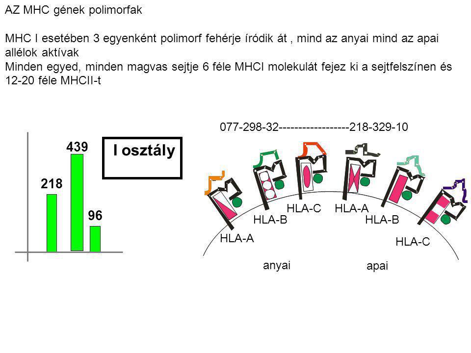 AZ MHC gének polimorfak MHC I esetében 3 egyenként polimorf fehérje íródik át, mind az anyai mind az apai allélok aktívak Minden egyed, minden magvas sejtje 6 féle MHCI molekulát fejez ki a sejtfelszínen és 12-20 féle MHCII-t HLA-A HLA-B HLA-C 077-298-32------------------218-329-10 anyai HLA-C HLA-B HLA-A apai 218 96 I osztály 439