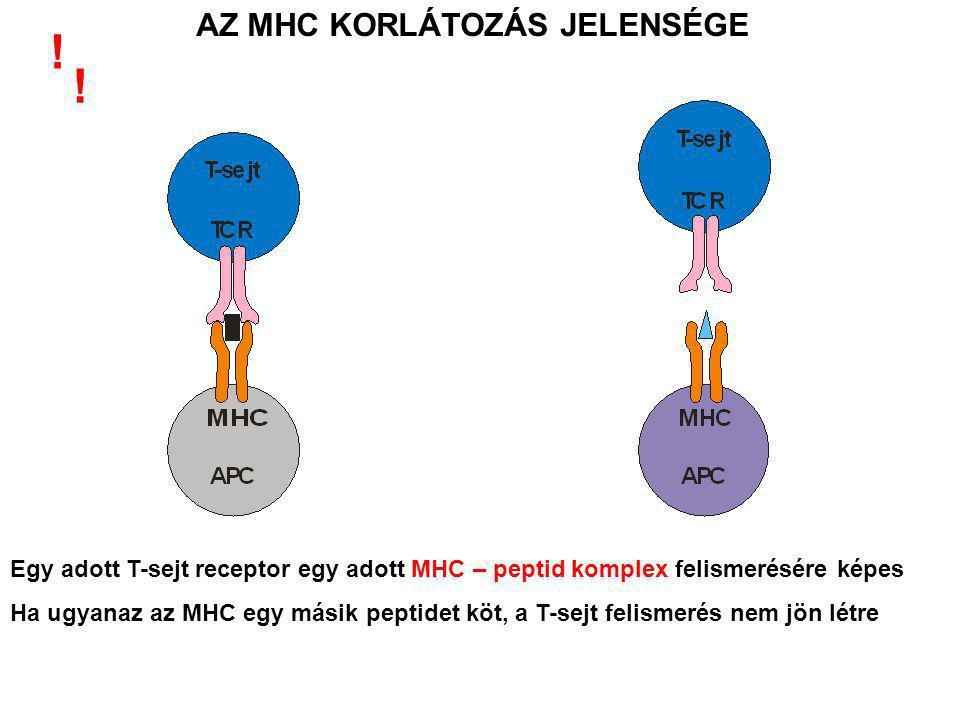 T-sejtek jelenléte nem szükséges a peptidkötéshez Nem különbözteti meg a saját illetve idegen peptideket (mindent egyaránt prezentál-bemutat ) A két prezentációs út egyszerre zajlik !