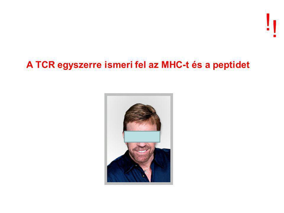 MHC I Minden magvas sejt MHC II Professzionális antigén prezentáló sejtek Kötött peptidforrássaját vagy idegen fehérjék méret8-10 aminosav13-25 aminosav természetescitoplazmatikus és magi fehérjék ~70% MHC eredetű, membrán- és extra- celluláris fehérjék Peptid képződéshelyecitoplazmavezikulumok endo/lizoszóma MHC transzport nincsIi - irányít, visszatart ER vezikuláris rendszer speciális vezikulum CIIV MHC - peptide kölcsönhatás HelyeERspeciális vezikulum, CIIV MHC - peptid komplexek a sejtfelszínen stabil komplexek a sejt belső környezetét tükrözik stabil complexek a sejt külső környezetét tükrözik ANTIGEN ÁTALAKÍTÁS ÉS BEMUTATÁS !