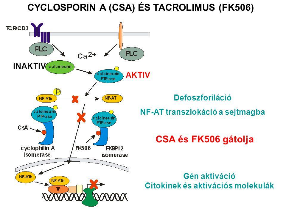 CYCLOSPORIN A (CSA) ÉS TACROLIMUS (FK506) INAKTIV AKTIV Defoszforiláció NF-AT transzlokáció a sejtmagba Gén aktiváció Citokinek és aktivációs molekulák CSA és FK506 gátolja