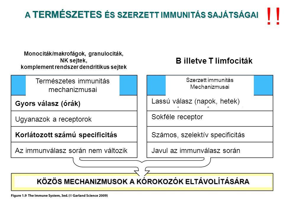 Epitéliális sejt J C C S S S S C C S S S S C C ss A poli Ig receptor, a szekretoros IgA és a transzcitózis J C C S S S S C C S S S S C C ss J C C S S S S C C S S S S C C ss J C C S S S S C C S S S S C C ss A pIgR és az IgA internalizációja A pIgR elhasadása teszi lehetővé az IgA leválását, ami a továbbiak során ezt a receptor darabot mint – szekretoros fragmentumot hordozza J C C S S S S C C S S S S C C ss Az IgA és pIgR aktív folyamat révén vezikulákban átkerül az apikális felszínre A szubmukóza B sejtjei dimer IgA-t termelnek B A poli Ig receptorok (pIgR) az epiteliális sejtek bazolaterális felszínén találhatóak.