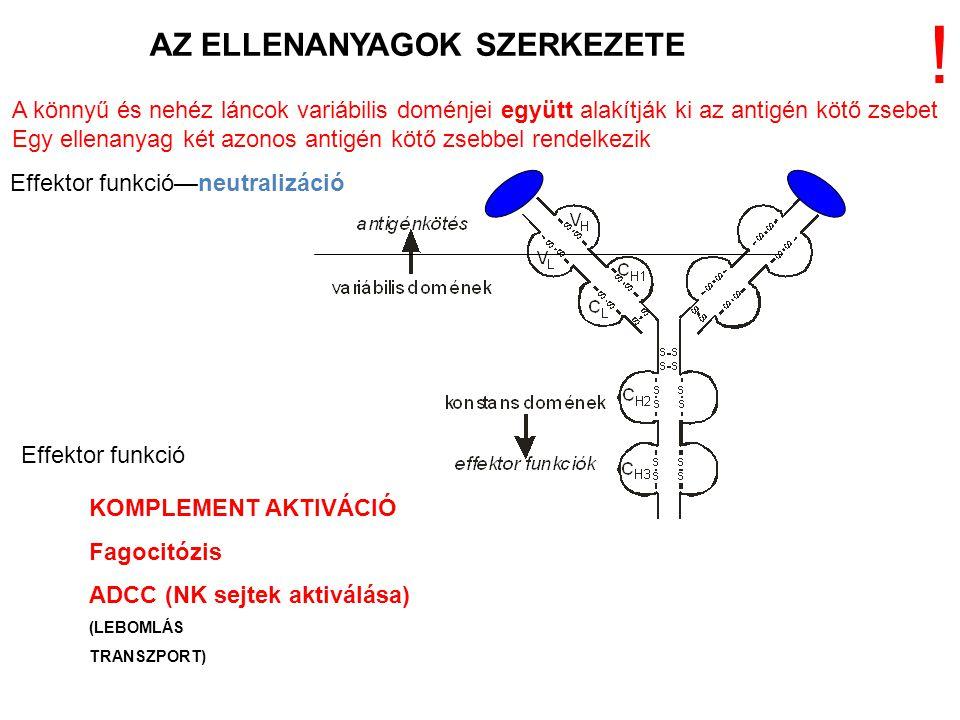 AZ ELLENANYAGOK SZERKEZETE KOMPLEMENT AKTIVÁCIÓ Fagocitózis ADCC (NK sejtek aktiválása) (LEBOMLÁS TRANSZPORT) A könnyű és nehéz láncok variábilis domé