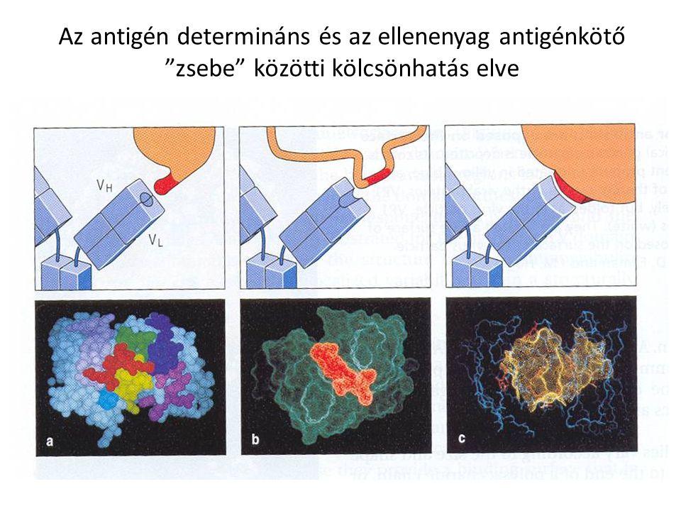 """Az antigén determináns és az ellenenyag antigénkötő """"zsebe"""" közötti kölcsönhatás elve"""