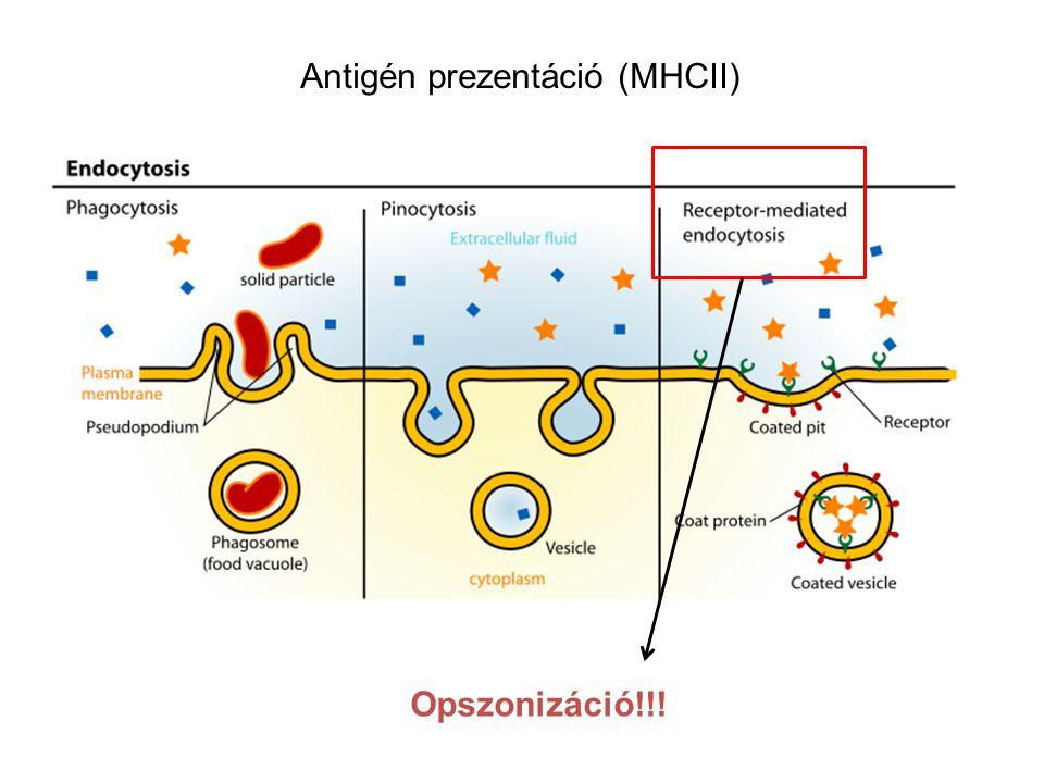 Opszonizáció!!! Antigén prezentáció (MHCII)
