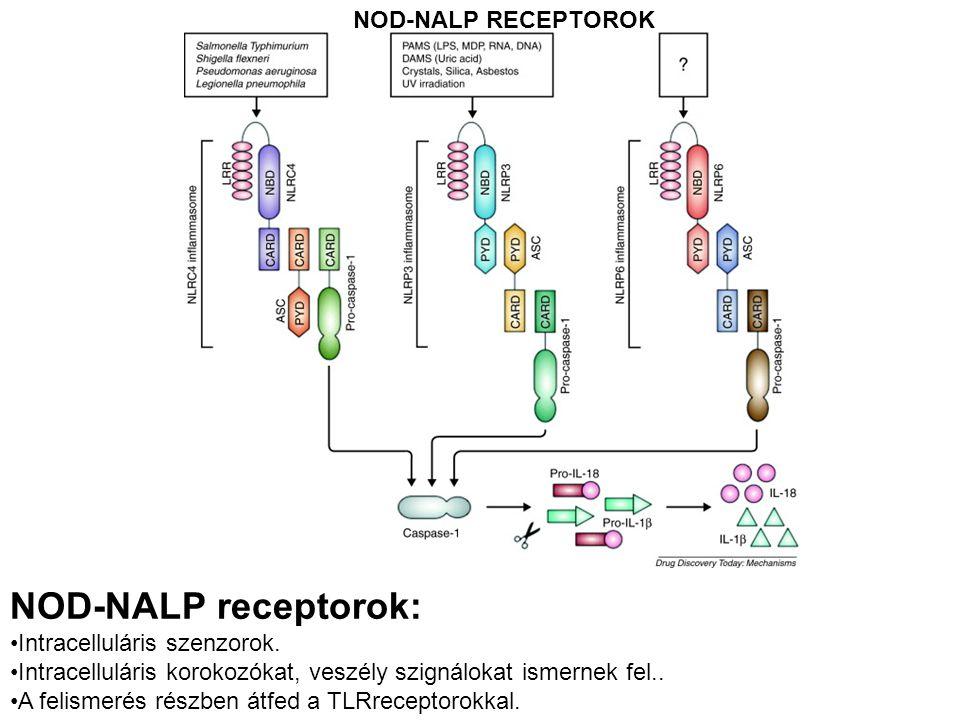 NOD-NALP RECEPTOROK NOD-NALP receptorok: Intracelluláris szenzorok. Intracelluláris korokozókat, veszély szignálokat ismernek fel.. A felismerés részb