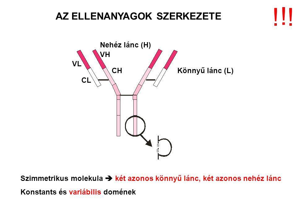 AZ ELLENANYAGOK SZERKEZETE Könnyű lánc (L) Nehéz lánc (H) VL CL VH CH Szimmetrikus molekula  két azonos könnyű lánc, két azonos nehéz lánc Konstants és variábilis domének .