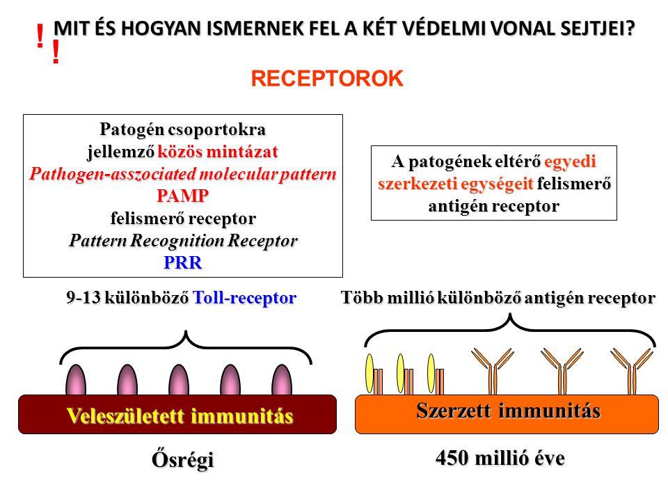 NK CELL DEGRANULÁCIÓ Antibody Dependent Cellular Cytotoxicity (ADCC) Az ellenanyag kötődis a sejtfelszíni antigénhez Az NK sejtek receptorai érzkelik a kötött ellenanyagokat Az Fc-receptor keresztkötések aktiválják az NK sejt ölőmechanizmusait A célsejt apoptózissal elhal nagyméretű patogén ellenanyaggal borítva Citotixikus granulumok tartalmának ürítése membránkárosodás és nekrózis a patogén puszulásához vezet