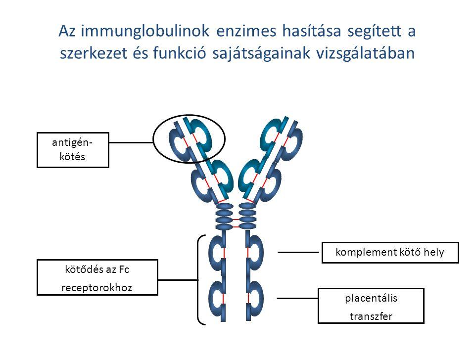 Az immunglobulinok enzimes hasítása segített a szerkezet és funkció sajátságainak vizsgálatában antigén- kötés komplement kötő hely placentális transz