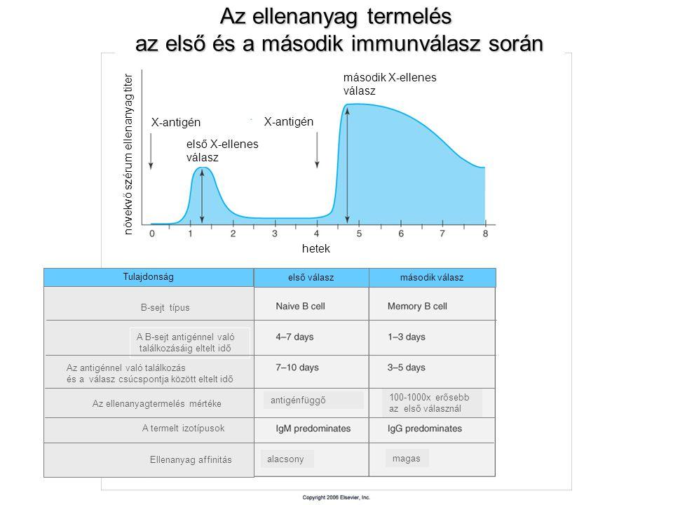 Az ellenanyag termelés az első és a második immunválasz során növekvő szérum ellenanyag titer hetek X-antigén első X-ellenes válasz X-antigén második X-ellenes válasz alacsony magas antigénfüggő 100-1000x erősebb az első válasznál A B-sejt antigénnel való találkozásáig eltelt idő Az antigénnel való találkozás és a válasz csúcspontja között eltelt idő Az ellenanyagtermelés mértéke A termelt izotípusok Ellenanyag affinitás B-sejt típus Tulajdonság első válasz második válasz