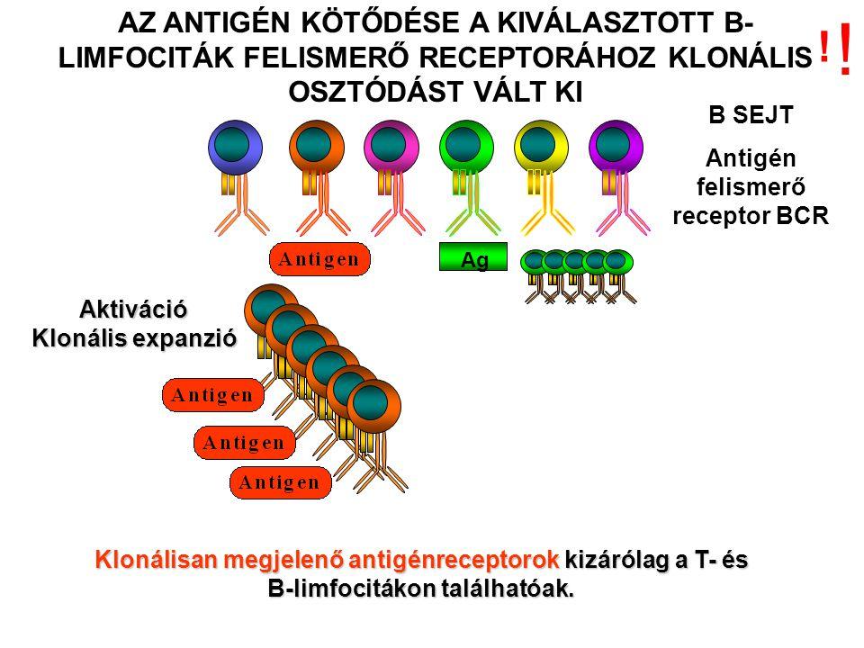 Aktiváció Klonális expanzió AZ ANTIGÉN KÖTŐDÉSE A KIVÁLASZTOTT B- LIMFOCITÁK FELISMERŐ RECEPTORÁHOZ KLONÁLIS OSZTÓDÁST VÁLT KI B SEJT Antigén felismerő receptor BCR Ag Klonálisan megjelenő antigénreceptorok kizárólag a T- és B-limfocitákon találhatóak.