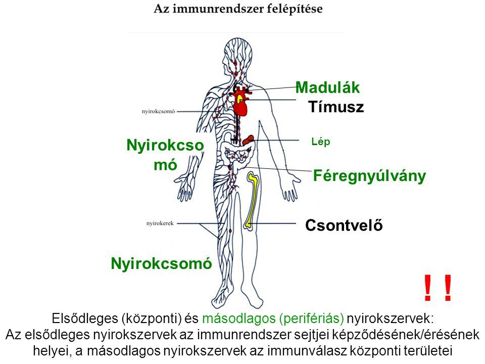 Tímusz Lép Csontvelő Nyirokcsomó Madulák Féregnyúlvány Elsődleges (központi) és másodlagos (perifériás) nyirokszervek: Az elsődleges nyirokszervek az immunrendszer sejtjei képződésének/érésének helyei, a másodlagos nyirokszervek az immunválasz központi területei !!