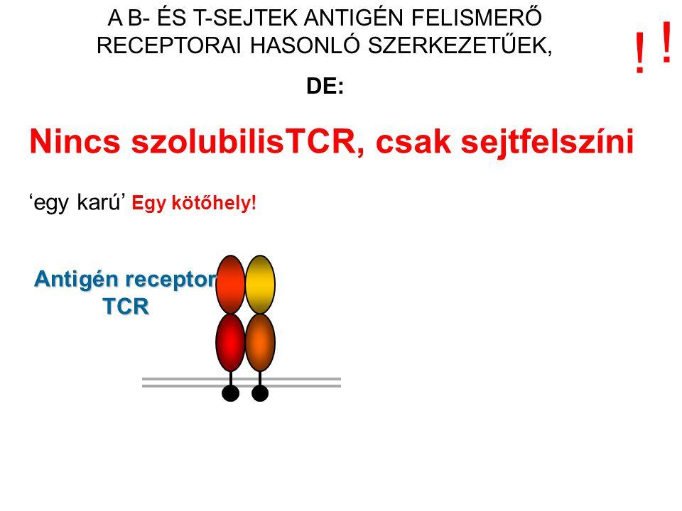 Nincs szolubilisTCR, csak sejtfelszíni 'egy karú' Egy kötőhely! Antigén receptor TCR ! ! A B- ÉS T-SEJTEK ANTIGÉN FELISMERŐ RECEPTORAI HASONLÓ SZERKEZ