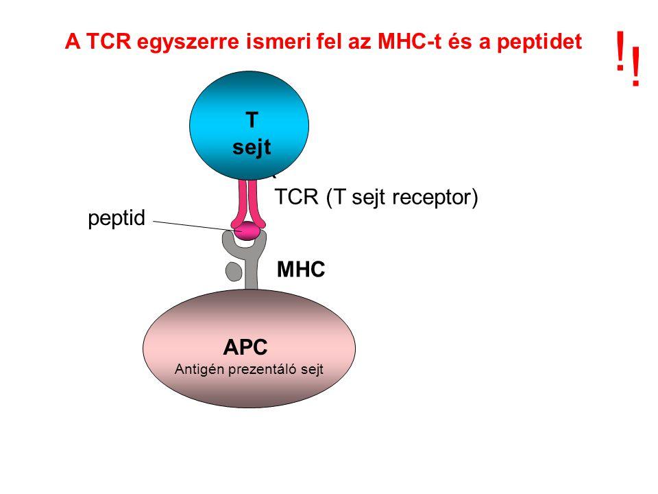 A TCR egyszerre ismeri fel az MHC-t és a peptidet ! ! MHC TCR T sejt TCR (T sejt receptor) peptid APC Antigén prezentáló sejt