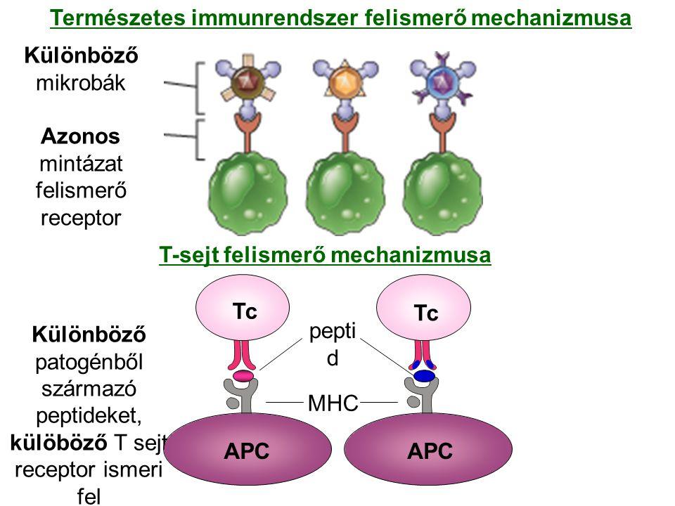 Különböző mikrobák Azonos mintázat felismerő receptor Természetes immunrendszer felismerő mechanizmusa T-sejt felismerő mechanizmusa Különböző patogén
