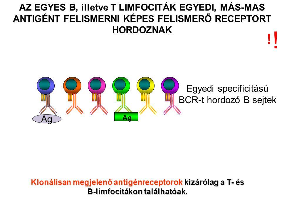 AZ EGYES B, illetve T LIMFOCITÁK EGYEDI, MÁS-MAS ANTIGÉNT FELISMERNI KÉPES FELISMERŐ RECEPTORT HORDOZNAK Ag Klonálisan megjelenő antigénreceptorok kizárólag a T- és B-limfocitákon találhatóak.