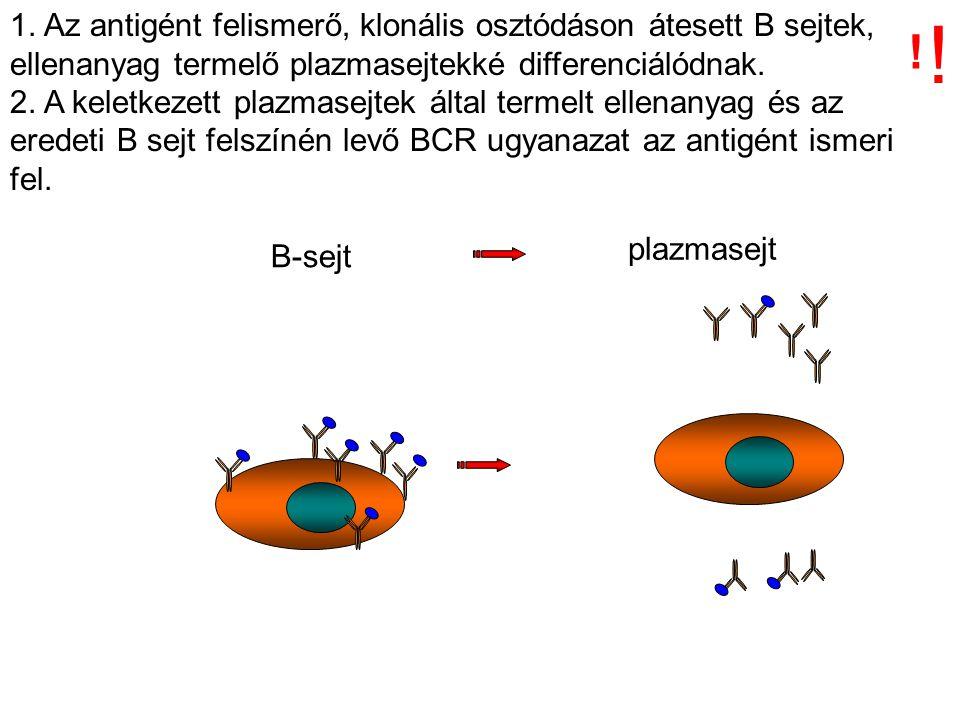B-sejt plazmasejt 1. Az antigént felismerő, klonális osztódáson átesett B sejtek, ellenanyag termelő plazmasejtekké differenciálódnak. 2. A keletkezet
