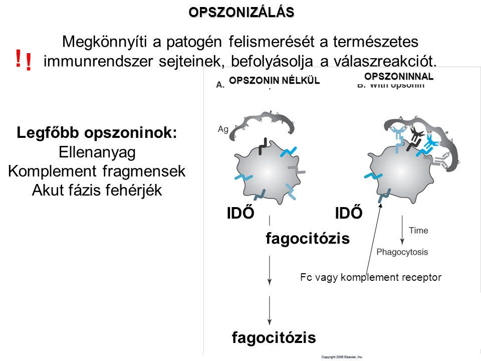 OPSZONIZÁLÁS OPSZONIN NÉLKÜL OPSZONINNAL IDŐ fagocitózis Megkönnyíti a patogén felismerését a természetes immunrendszer sejteinek, befolyásolja a vála