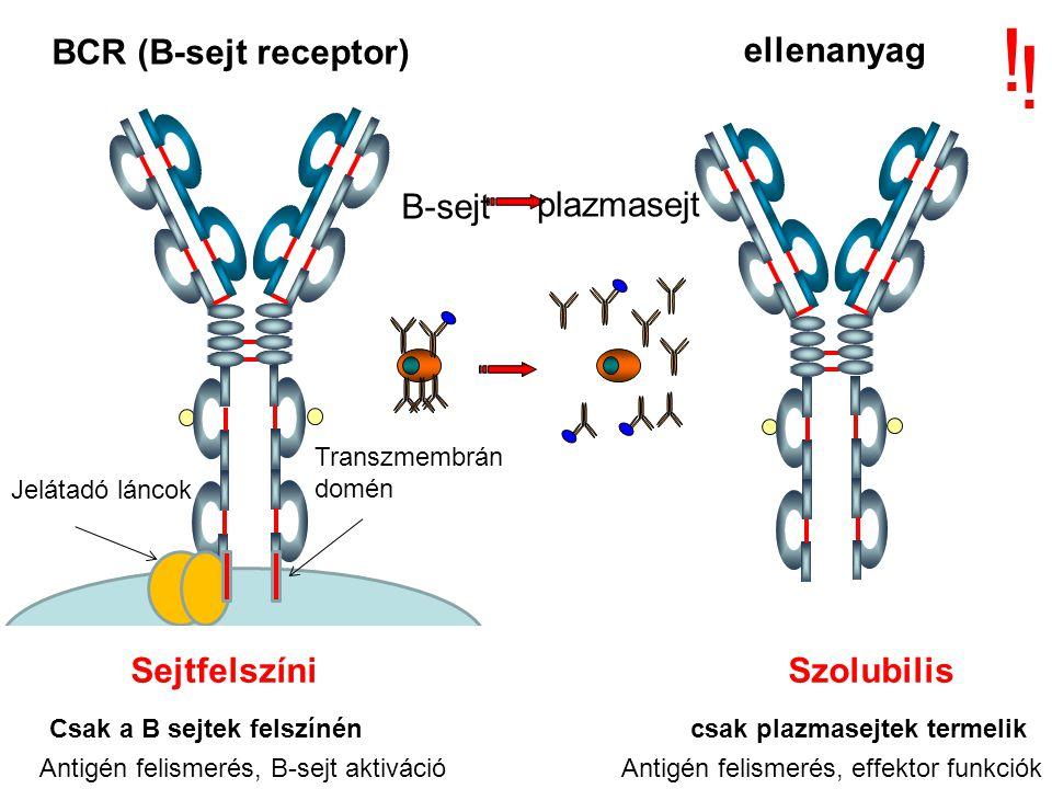 Humán Immunglobulin Osztályok IgG - gamma nehézláncok IgM - mü nehézláncok IgA - alfa nehézláncok IgD - delta nehézláncok IgE - epszilon nehézláncok könnyűlánc típusok kappa lambda Izotípusok.