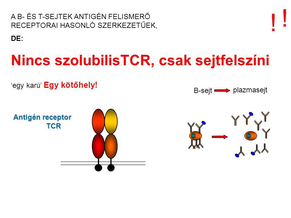 Nincs szolubilisTCR, csak sejtfelszíni 'egy karú' Egy kötőhely! Antigén receptor TCR ! ! B-sejt plazmasejt A B- ÉS T-SEJTEK ANTIGÉN FELISMERŐ RECEPTOR