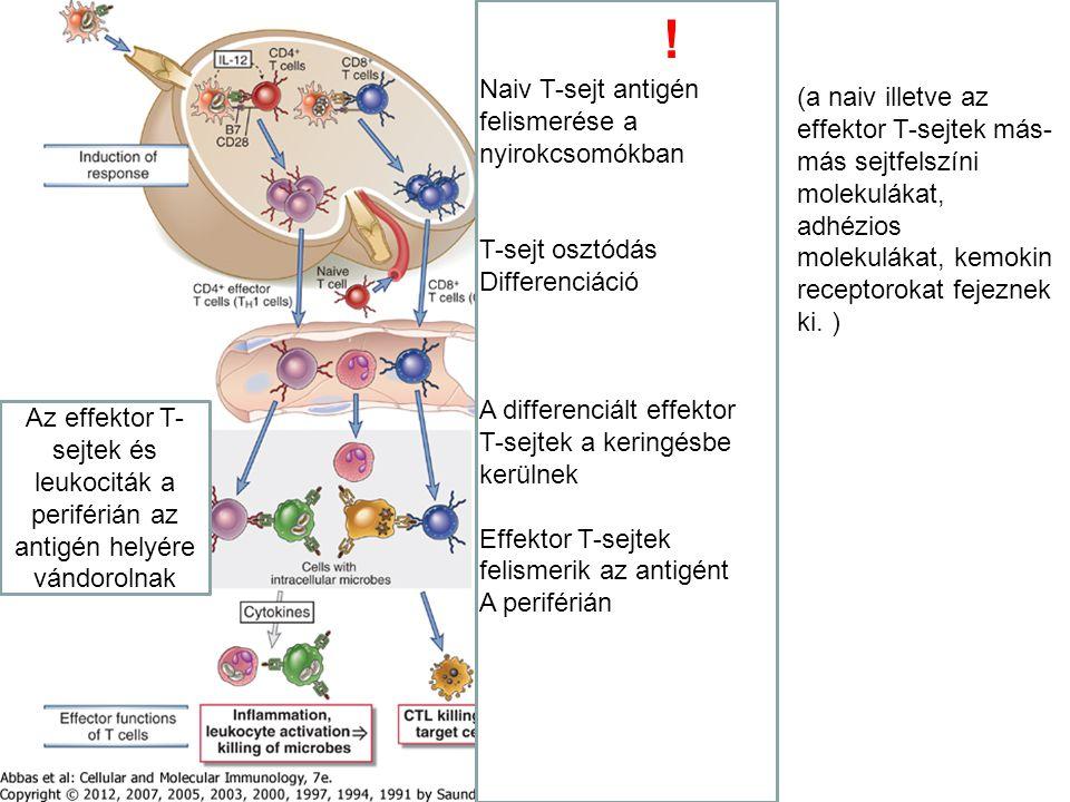 Naiv T-sejt antigén felismerése a nyirokcsomókban T-sejt osztódás Differenciáció A differenciált effektor T-sejtek a keringésbe kerülnek Effektor T-se