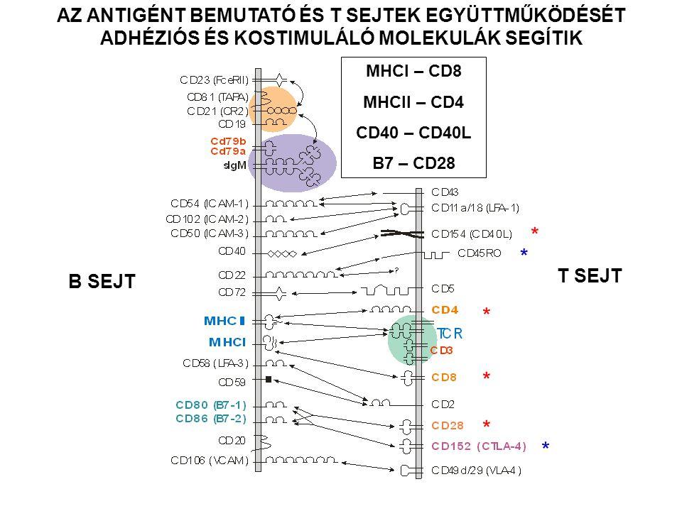 AZ ANTIGÉNT BEMUTATÓ ÉS T SEJTEK EGYÜTTMŰKÖDÉSÉT ADHÉZIÓS ÉS KOSTIMULÁLÓ MOLEKULÁK SEGÍTIK * * * * * * B SEJT T SEJT MHCI – CD8 MHCII – CD4 CD40 – CD4