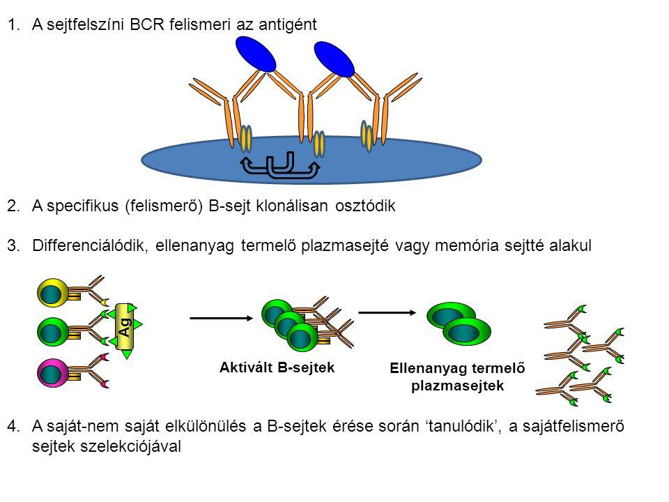 1.A sejtfelszíni BCR felismeri az antigént 2.A specifikus (felismerő) B-sejt klonálisan osztódik 3.Differenciálódik, ellenanyag termelő plazmasejté vagy memória sejtté alakul 4.A saját-nem saját elkülönülés a B-sejtek érése során 'tanulódik', a sajátfelismerő sejtek szelekciójával Aktivált B-sejtek Ellenanyag termelő plazmasejtek Ag