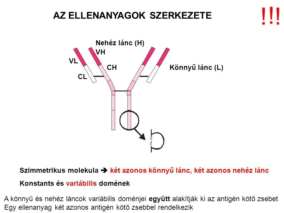 AZ ELLENANYAGOK SZERKEZETE Könnyű lánc (L) Nehéz lánc (H) VL CL VH CH Szimmetrikus molekula  két azonos könnyű lánc, két azonos nehéz lánc Konstants
