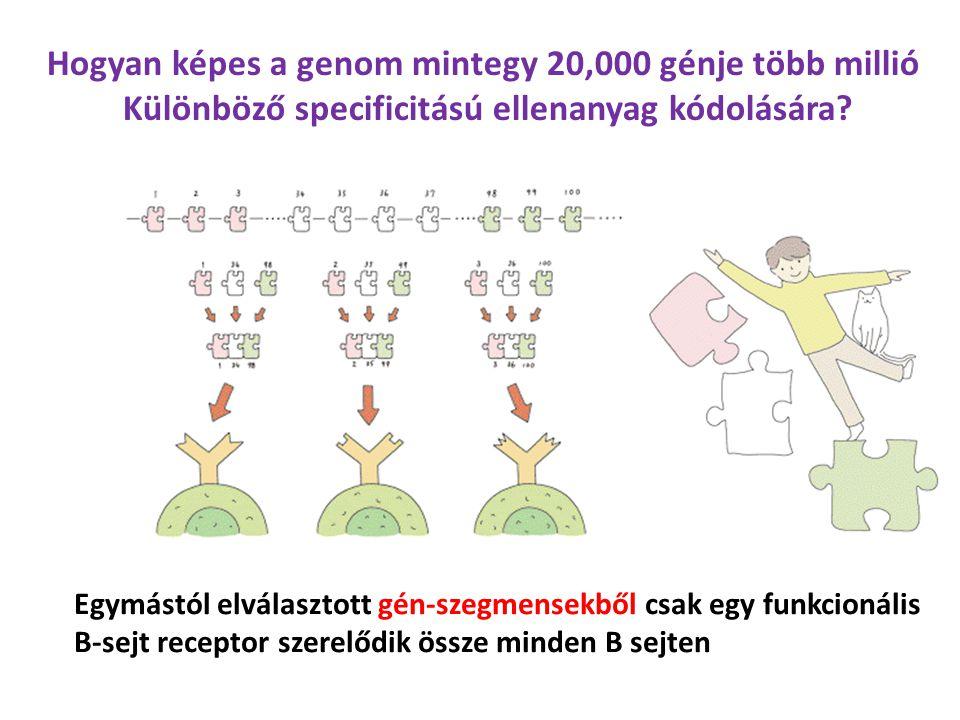 Egymástól elválasztott gén-szegmensekből csak egy funkcionális B-sejt receptor szerelődik össze minden B sejten Hogyan képes a genom mintegy 20,000 génje több millió Különböző specificitású ellenanyag kódolására?